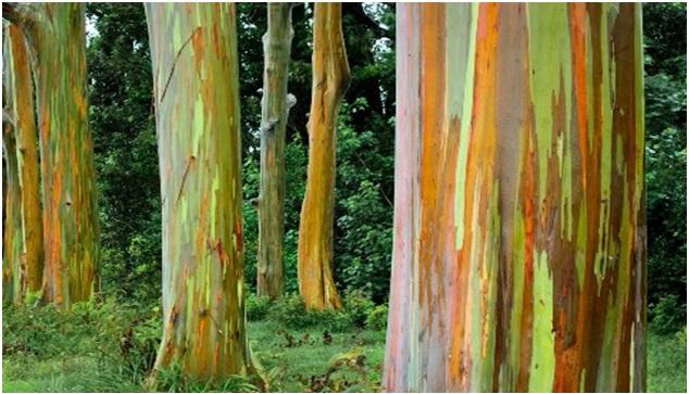copaci curcubeu