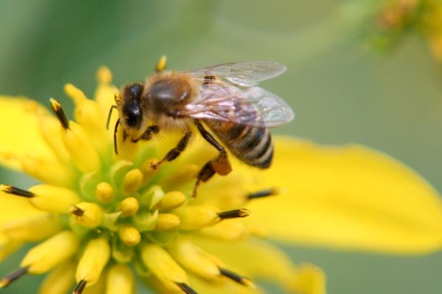 înțepătura de albină