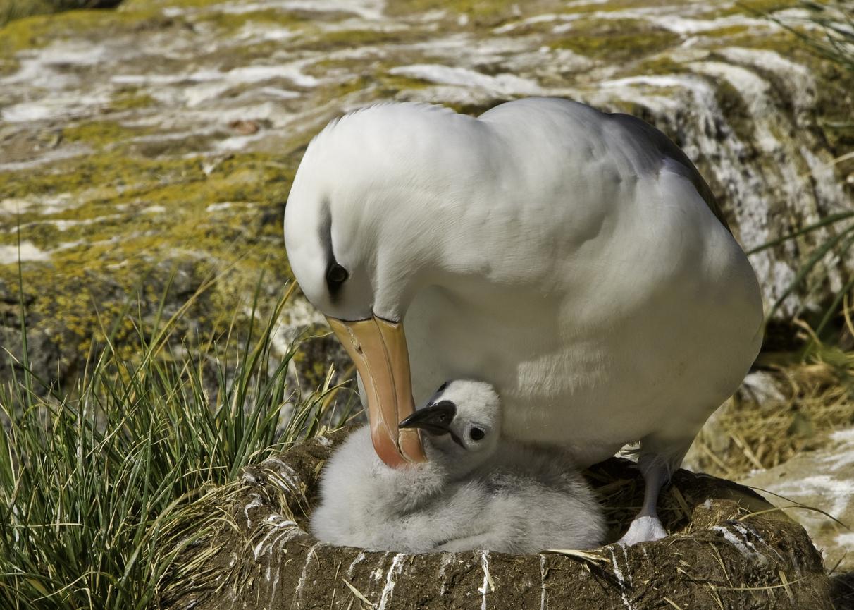 albatros in cuib cu pui