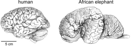 Creierul uman in comparatie cu cel al elefantului